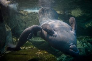A picture taken on March 15, 2017 shows a manatee baby swimming near his mother in the manatee tank of the Zoological parc of Beauval on March 15, 2017, eleven days after his birth. / AFP PHOTO / GUILLAUME SOUVANT