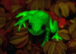 Handout photo relased by CONICET and MACN (Museo Argentino de Ciencias Naturales) researchers Carlos Taboada and Julian Faivovich on March 16, 2017 in Buenos Aires of a fluorescent polka-dot tree frog (Hypsiboas punctatus) that lives in South America. Argentine and Brazilian scientists discovered the first case of natural fluorescence in amphibians in the tree-frog. / AFP PHOTO / MACN-CONICET / C.TABOADA-J.FAIVOVICH