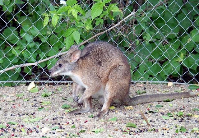 Parma-kenguru